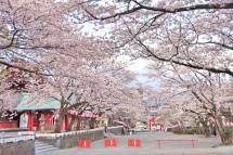 Sengen_sakura05