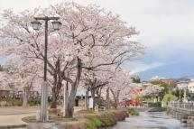 Sengen_sakura07