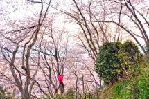 Gotenyama_sakura04