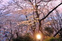 Gotenyama_sakura05