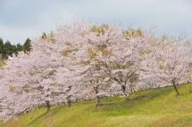 Sakura20120415c