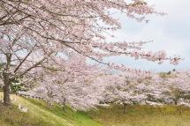 Sakura20120415d