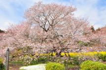 Sakura20120415e