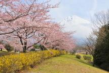 Sakura20120415j