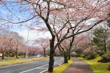 Sakura20120415l