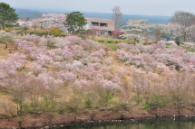 Sakura20120421a