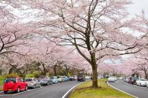 Sakura20120421c