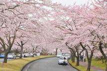 Sakura20120421d