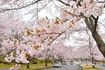 Sakura20120421e