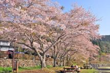 Sakura20120421i
