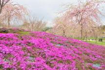 Sakura20120421m