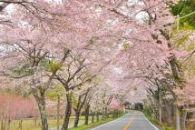 Sakura20120421n