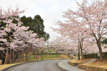 Sakura20120421p