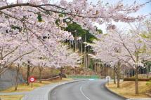 Sakura20120421r