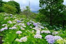 Harada_ajisai01