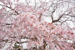 Honmyoji_shidare2013e