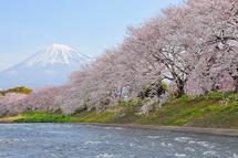 Sakura20130323b