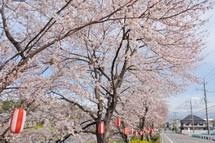 Sakura20130323c