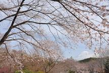 Sakura20130323e