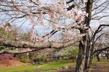 Sakura20130323f