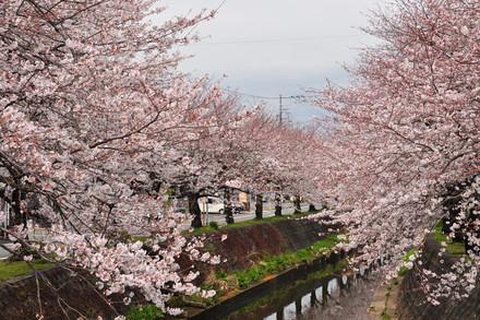 Sakura20130323g