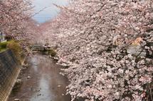 Sakura20130323h