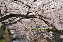 Sakura20130323i