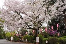 Sakura20130323k