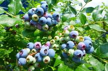 Blueberryhatsu03