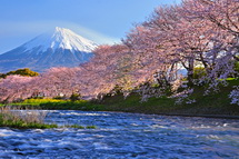 Sakura20140331b