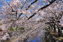 Sakura20140331e