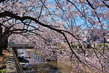 Sakura20140331f