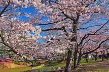 Sakura20140331n