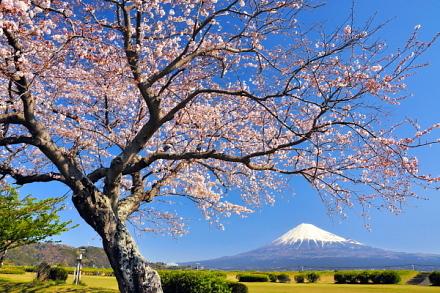 Sakura20140331o
