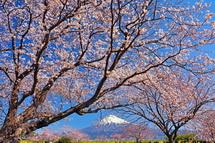 Sakura20140331p