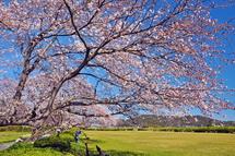 Sakura20140331q
