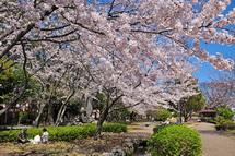 Sakura20140331s