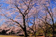 Sakura20140331u