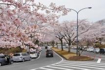 Fujizakurapark2014g