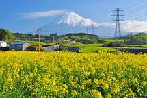 Fujinooka_nabana02
