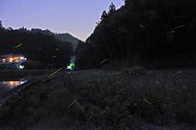 Minamizawa_hotaru2014c