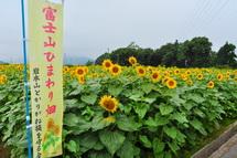 Fujisanhimawari02