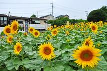 Fujisanhimawari08