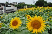 Fujisanhimawari09