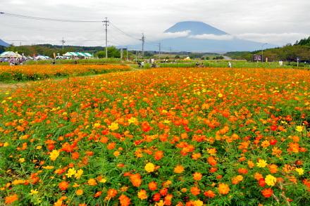 Susono_cosmos2014a