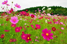 Susono_cosmos2014f