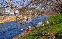 Sakura20150322b