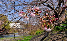 Sakura20150322c
