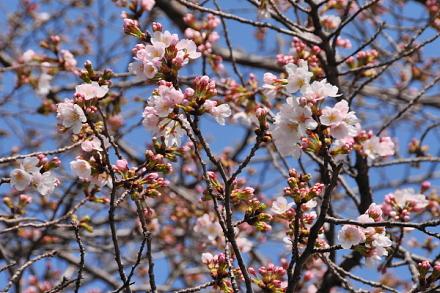 Sakura20150322d