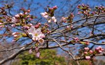 Sakura20150322g